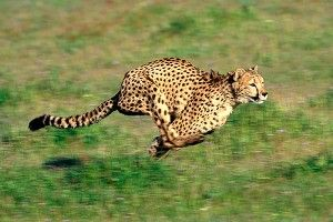 Johnson, Hester raced cheetah
