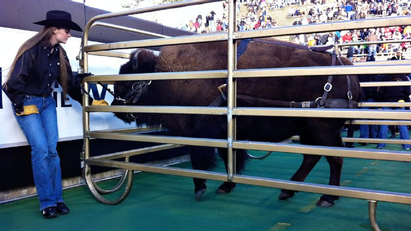 Colorado mascot and lovable bison Ralphie prepares for her pregame sprint at Folsom Field.