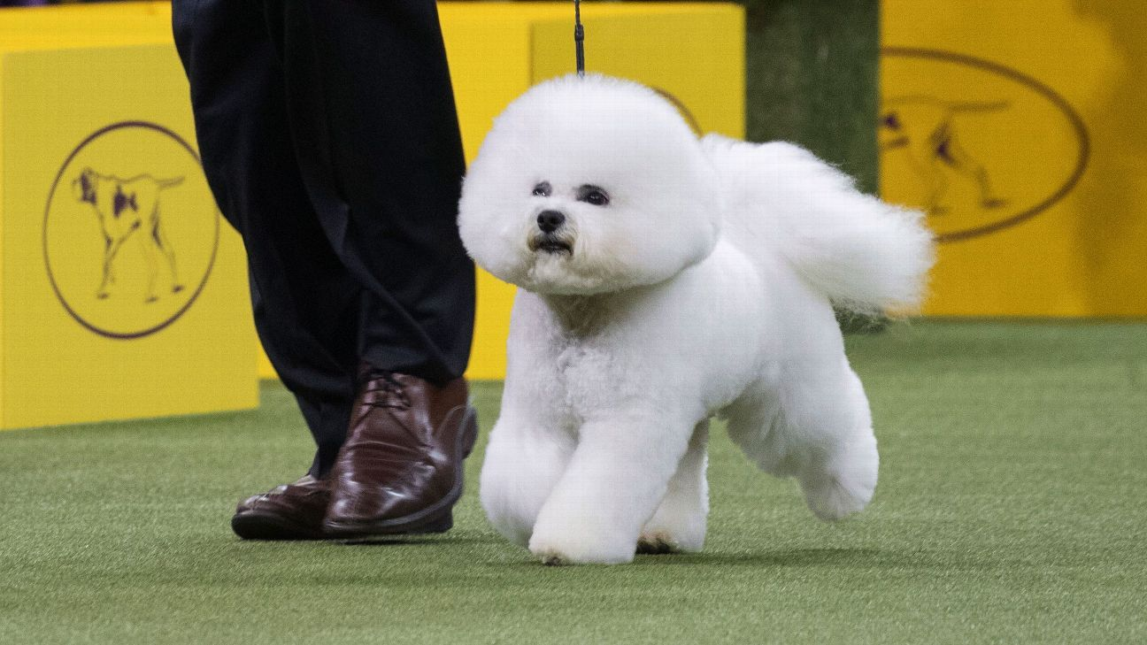 Bichon frise Flynn wins best in show at Westminster Kennel Club